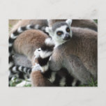 Ring Tailed Lemurs Postcard