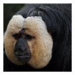 White Faced Saki Monkey Poster