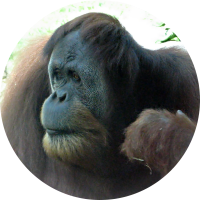 f3862668553b Cute Orangutan
